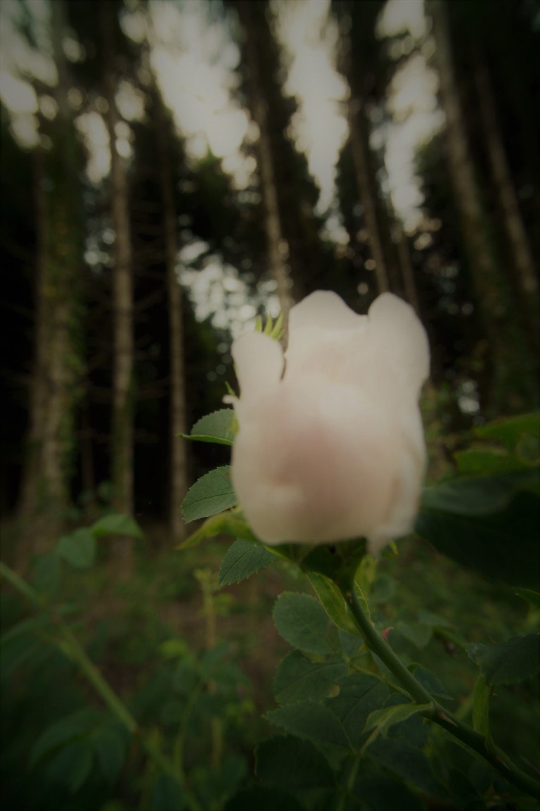 Wild rose beside the twilight forest, Sencey, Doubs, France.